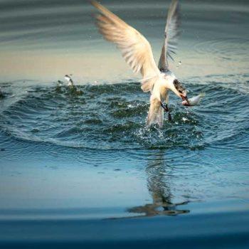 photo oiseau qui pêche