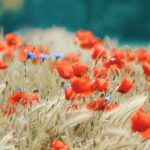 photo champs de coquelicots