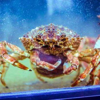 Photo d'une araignée de mer dans un aquarium